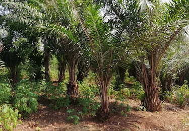 Cassava and oil palms - an example of complex land use in Benin. Credit: E. Fulajtar | IAEA