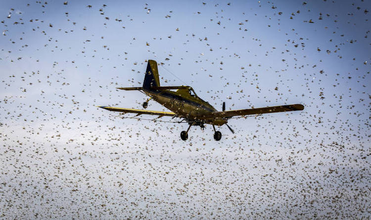 Photo: Desert Locusts in Kenya. Courtesy of FAO.