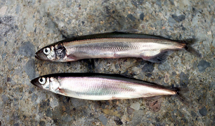 Image: Male and female capelin. Credit: The Navigator